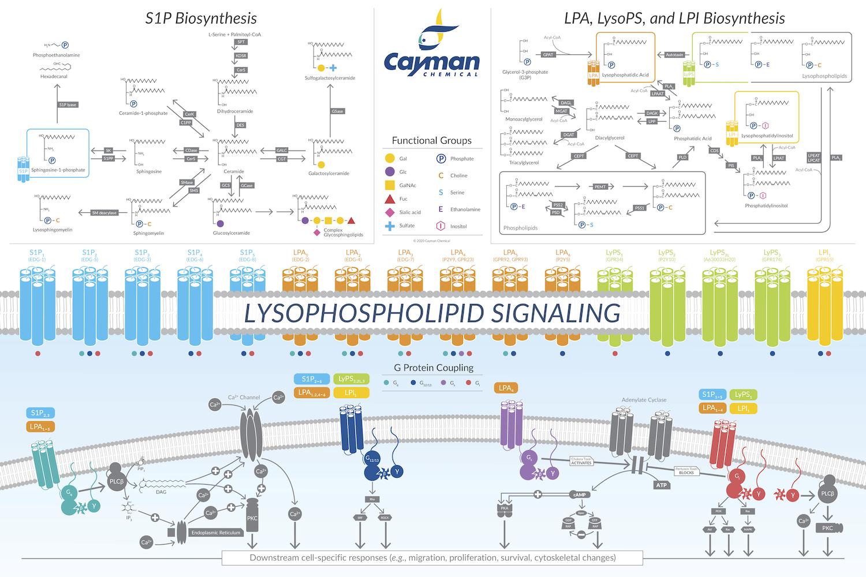 Lysophospholipid_Signaling